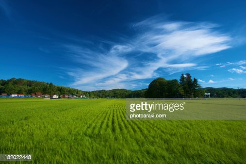 Rice field and sky
