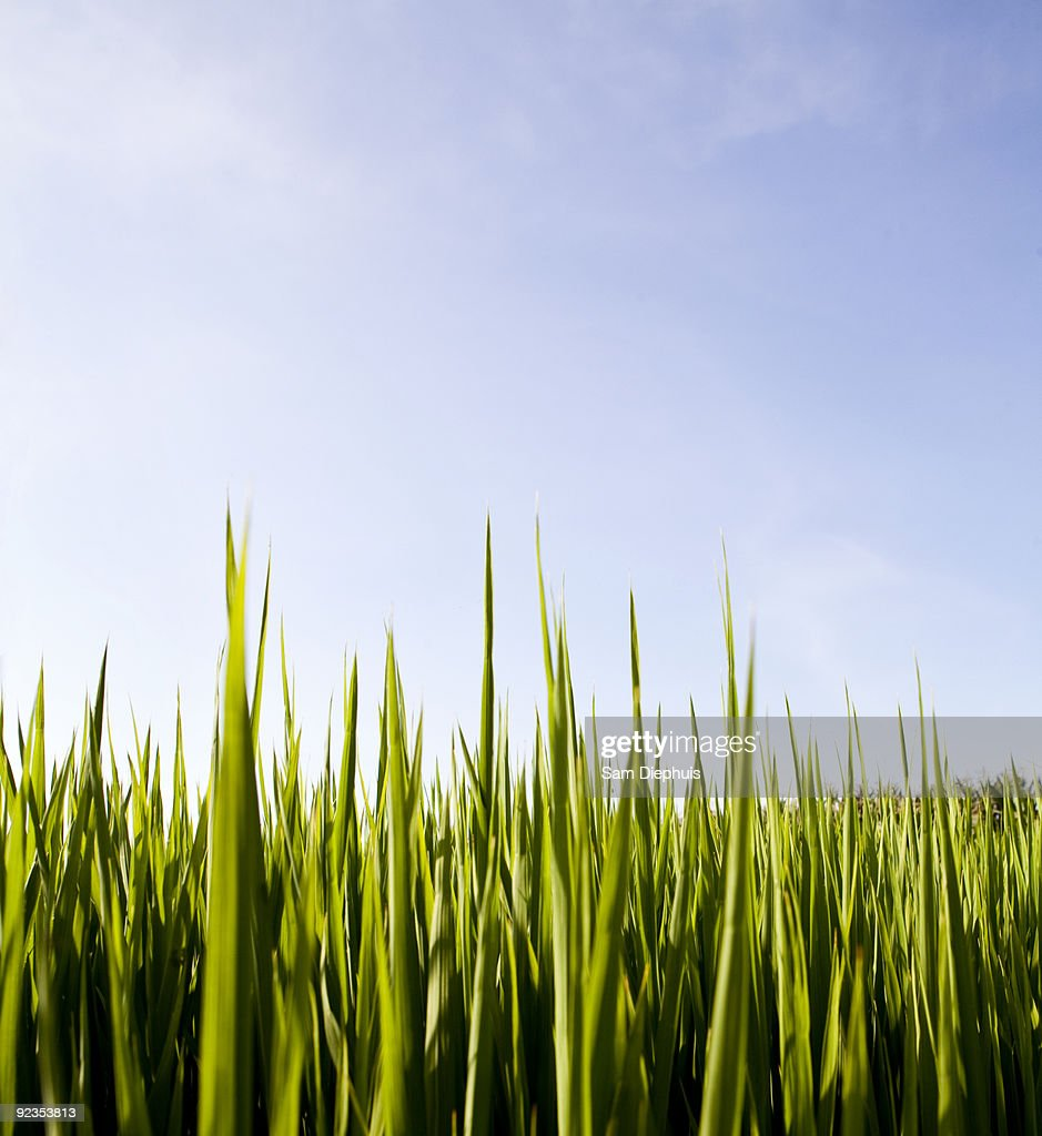 Rice Field and Sky : Stock Photo