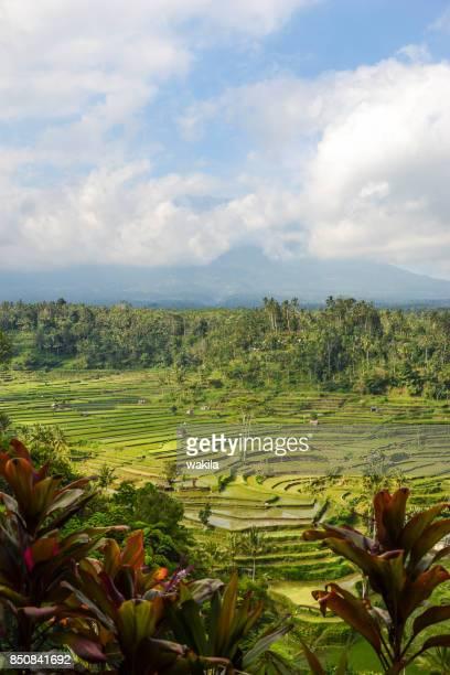 rice field at bali