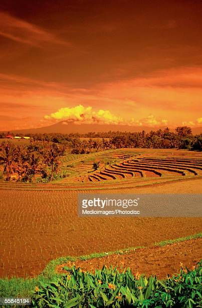 Rice field at sunset, Mount Batukau, Bali, Indonesia