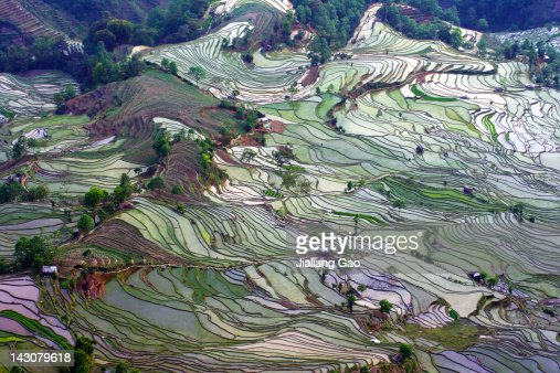 Rice Field at Yuanyang, China