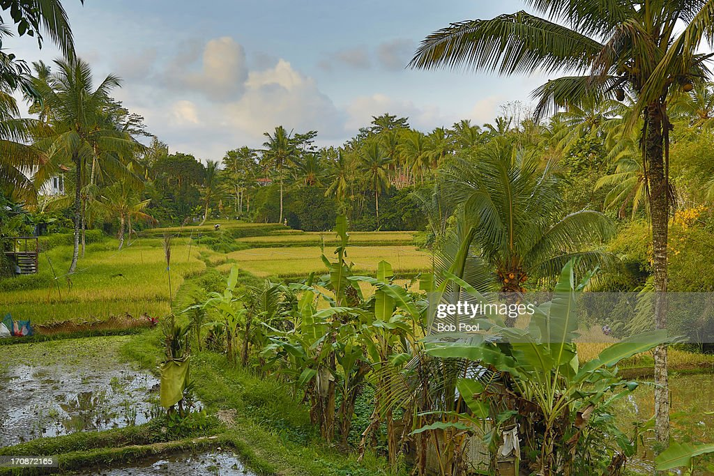 Rice field, Bali, Indonesia. : Stock Photo