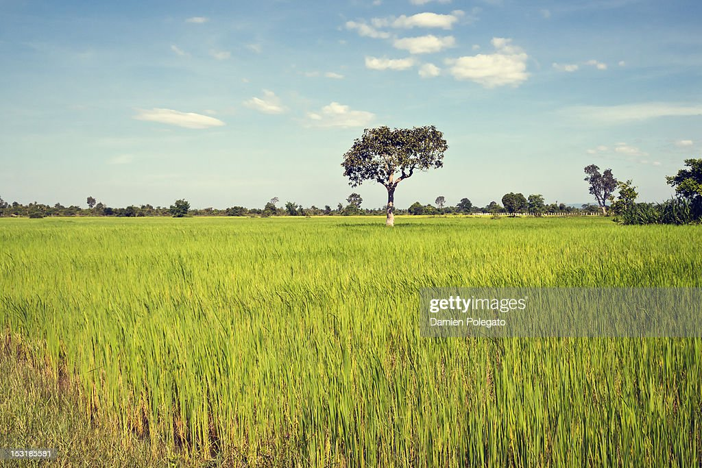 Rice field in Cambodia : Stock Photo