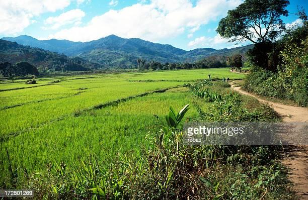Rice field in Madagascar
