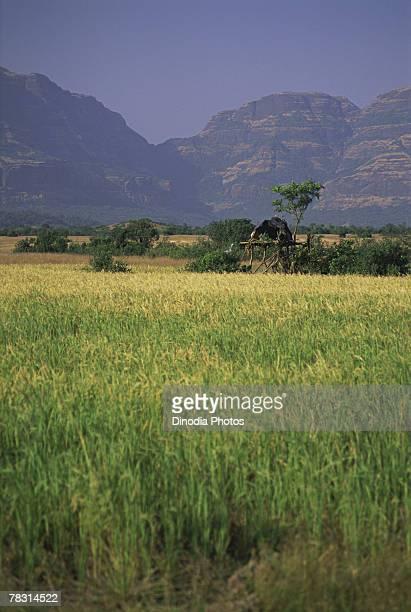 Rice field in Malshej Ghat, Maharashtra, India