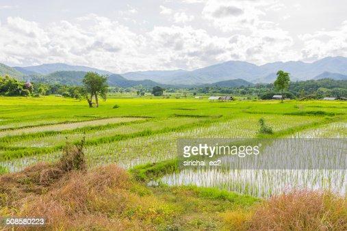 Rice field in thailand : Stockfoto