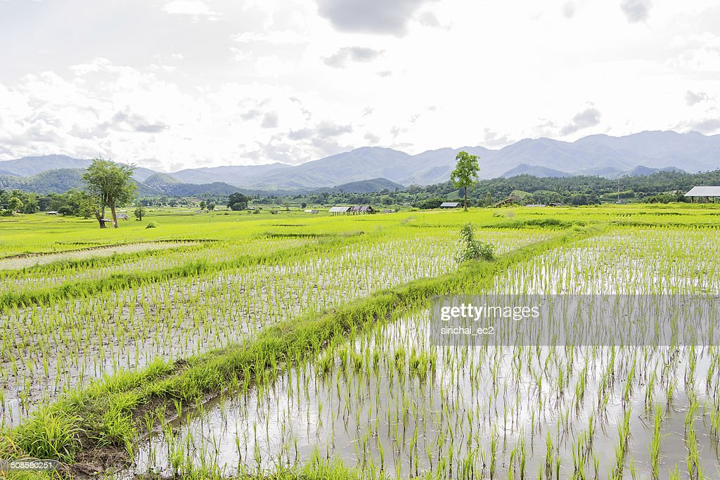 Rice field in thailand : Stock Photo