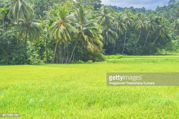 Rice field landscape  in Sri Lanka