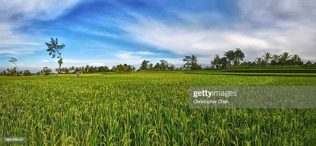 Rice Field Panorama Against Blue Sky : Stock Photo