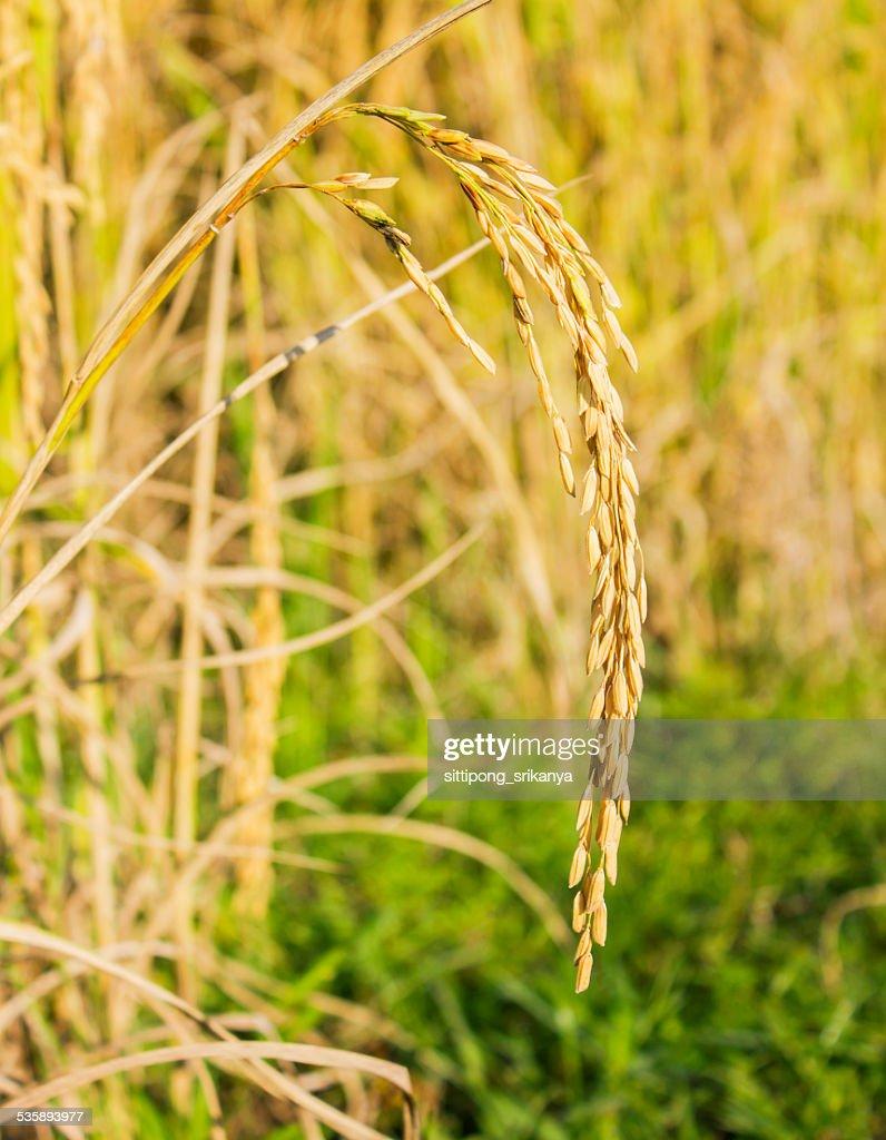 rice field : Stock Photo