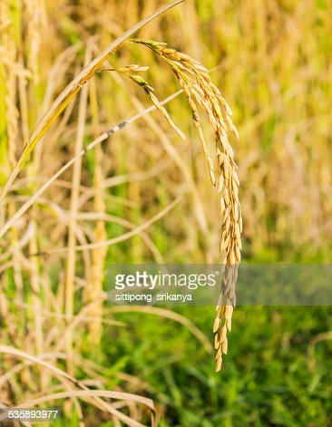 rice field : Stock Photo