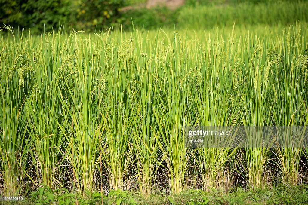 Campo de arroz  : Foto de stock