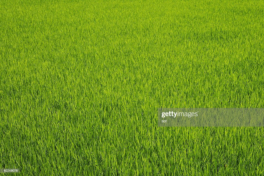 A rice field : Stock Photo