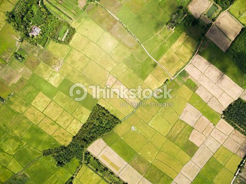 rice field plantation pattern : Stock Photo