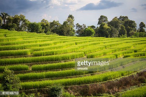 rice field scenery in Thailand : Stock Photo