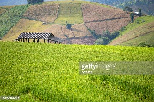rice field scenery in Thailand : Foto de stock