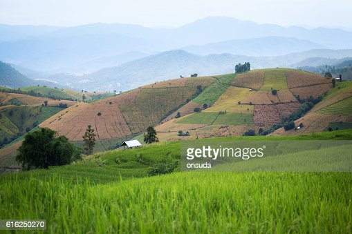 rice field scenery in Thailand : Foto de stock