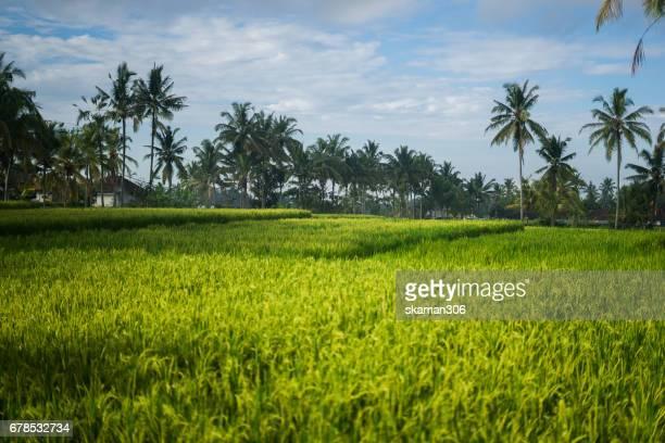 Rice field terrace landmark from ubud city near Bali Indonesia