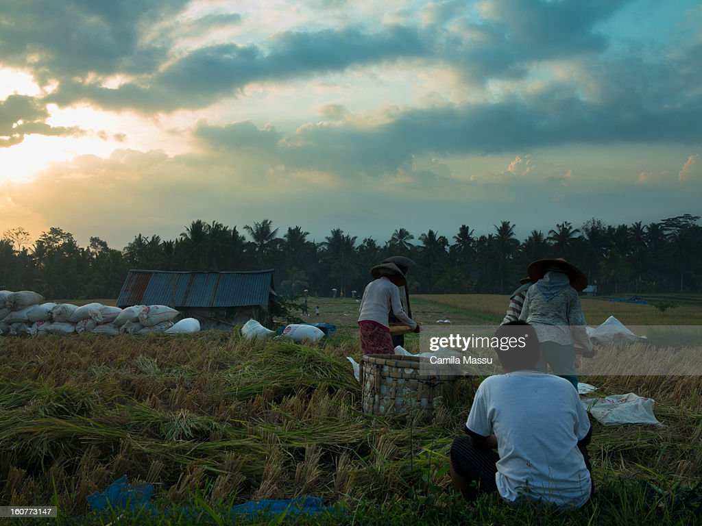 rice field ubud : Stock Photo