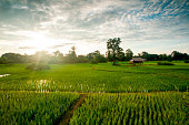 Rice field with water in the sunshine under a blue sky.   Laos