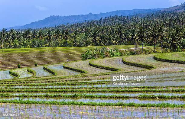 Rice Fields, Bali, Indonesia