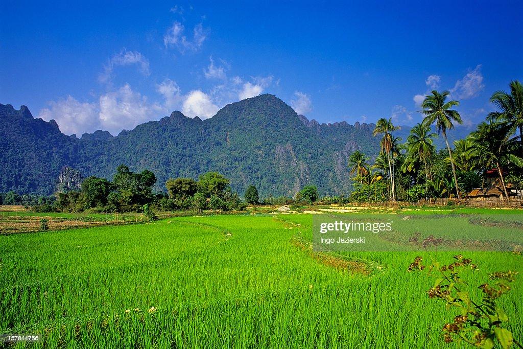 Rice fields in Laos : Stock Photo