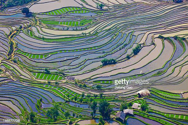Rice fields in Yuanyang