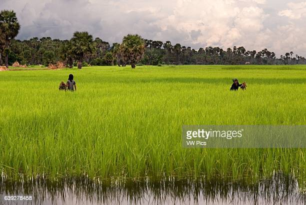 Rice fields near Banteay Srei Cambodia has many fine products to offer particularly in the area of agricultural commodities We Signatures Of Asia are...