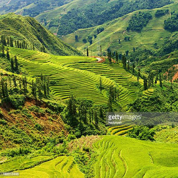 Rice fields near Sapa town in North Vietnam