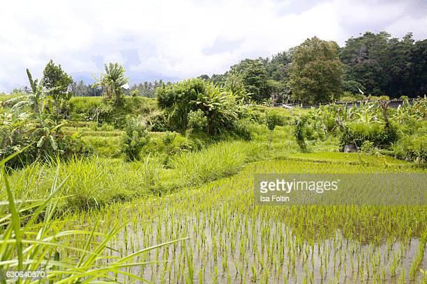 KARANGASEM BALI INDONESIA DECEMBER 23 Rice fields near the Taman Tirta Gangga Water Palace on December 23 2016 in Karangasem Bali Indonesia