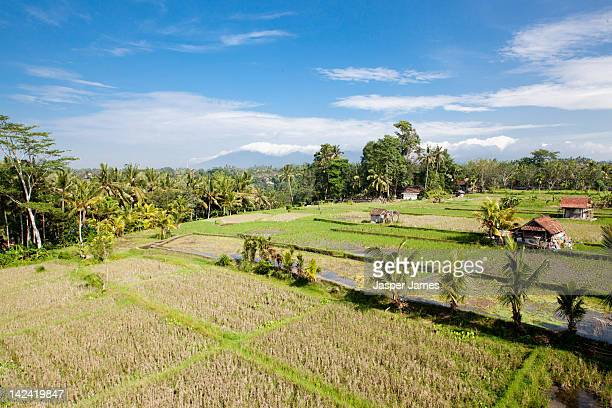 rice fields near Ubud,Bali