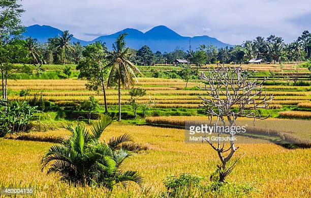 Rice fields on Campuan Ridge