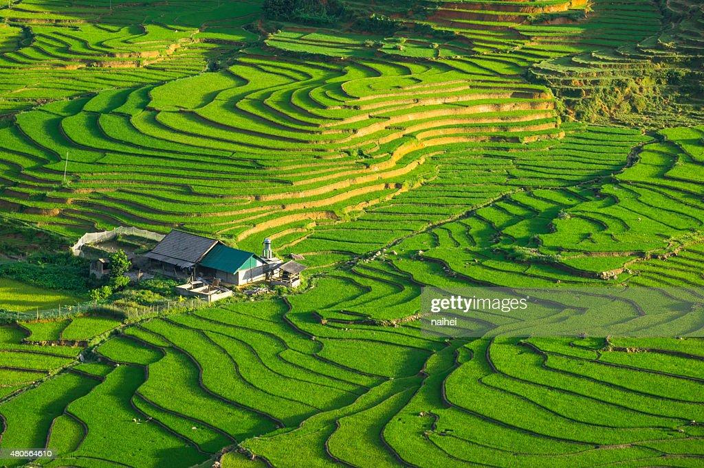 Rice fields on terraced in rainny season at Vietnam. : Stock Photo