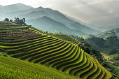 Rice fields on terraced of Mu Cang Chai, YenBai, Vietnam. Rice fields prepare the harvest at Northwest Vietnam.Vietnam landscapes.