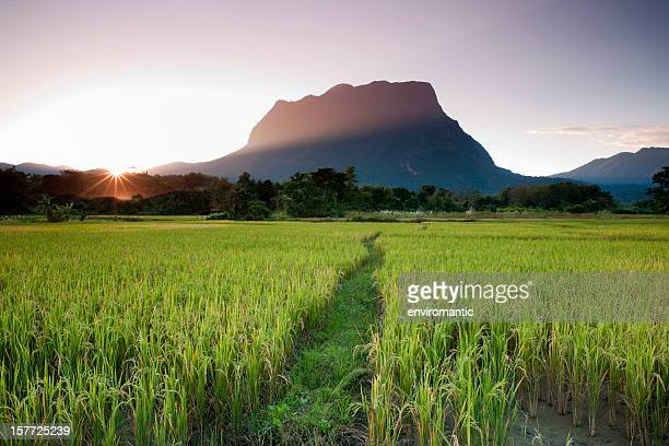 Rice fields.