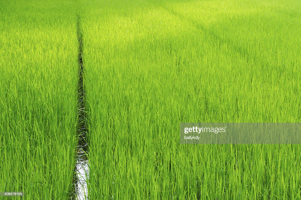 Rice fields : Stock Photo