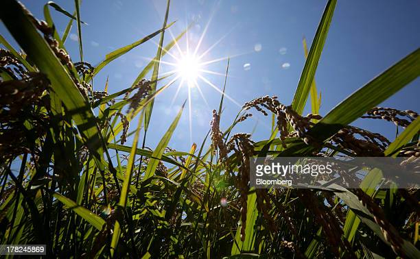 Rice grows in a paddy field in Sakura Chiba Prefecture Japan on Tuesday Aug 27 2013 Japan is selfsufficient in rice as the government imposes high...