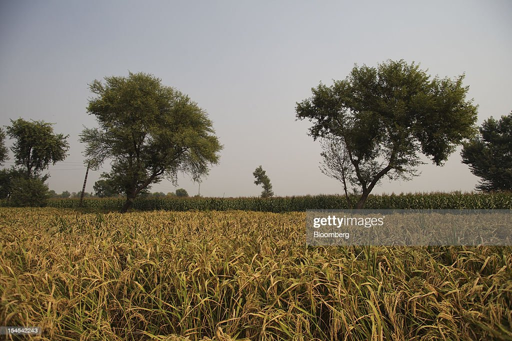 Rice grows in a paddy field in the Chiniot district of Punjab province, Pakistan, on Saturday, Oct. 13, 2012. Rice exports from Pakistan, the fourth-largest shipper, are set to rebound from November with the new harvest after a rally in domestic prices and cheaper supplies from India cut shipments, a traders' group said. Photographer: Asad Zaidi/Bloomberg via Getty Images