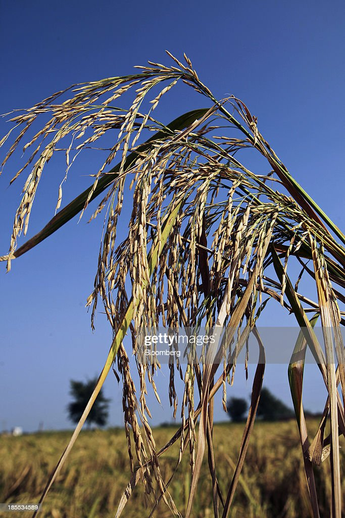 Rice grows in a paddy field in the district of Chiniot in Punjab, Pakistan, on Sunday, Oct. 13, 2013. Prime Minister Nawaz Sharifs four-month-old government is struggling to revive the $231 billion economy crippled by chronic energy shortages and a spike in violence from a Taliban insurgency in the northwest. Photographer: Asad Zaidi/Bloomberg via Getty Images