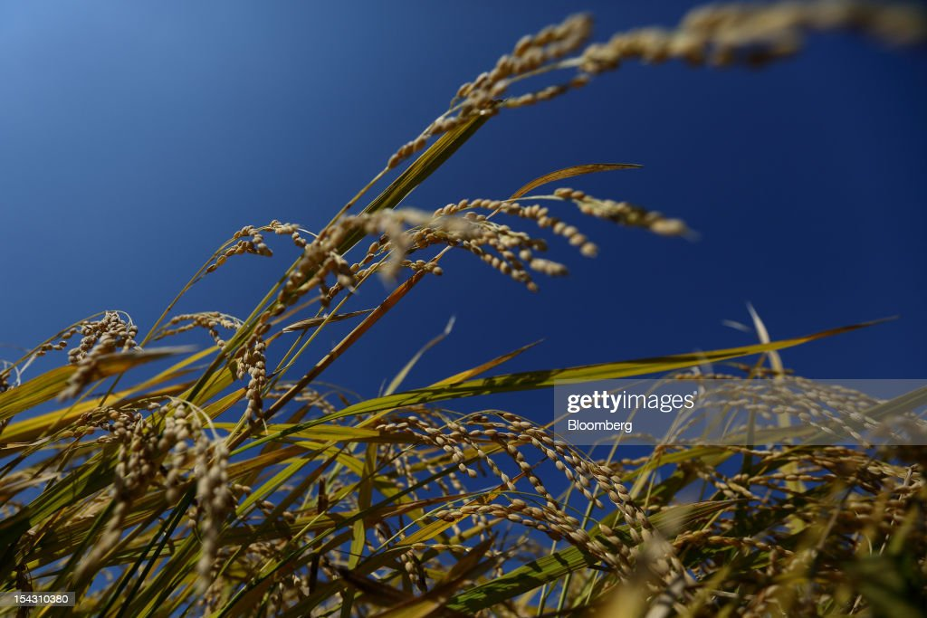 Rice grows in a paddy field in Yeoju, South Korea, on Thursday, Oct. 11, 2012. South Korea will boost production of rough rice to 5.801 million metric tons in the year that starts Nov. 1, compared with an estimated 5.616 million a year earlier, the U.S. Department of Agriculture's Foreign Agricultural Service said on Aug. 2 in a report posted on its website. Photographer: SeongJoon Cho/Bloomberg via Getty Images