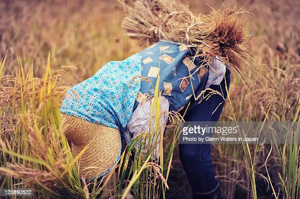 Rice harvest