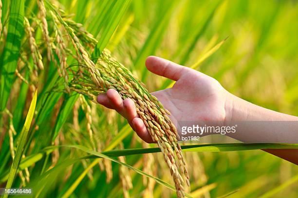 Riz harvest