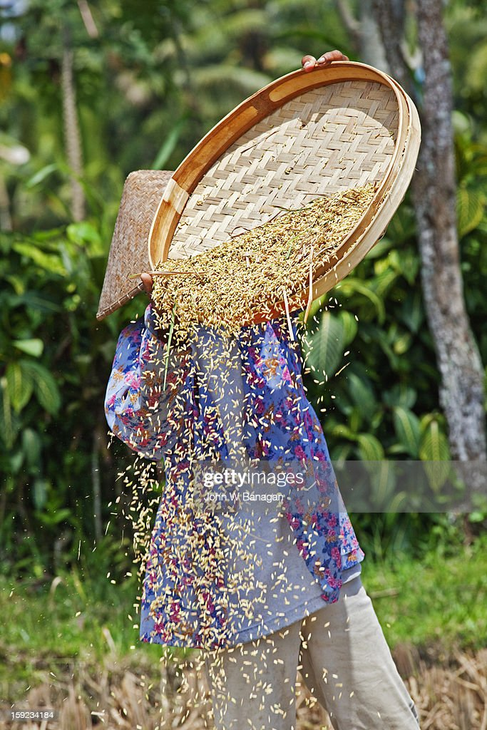 Rice harvesting,near Ubud Bali : Stock Photo