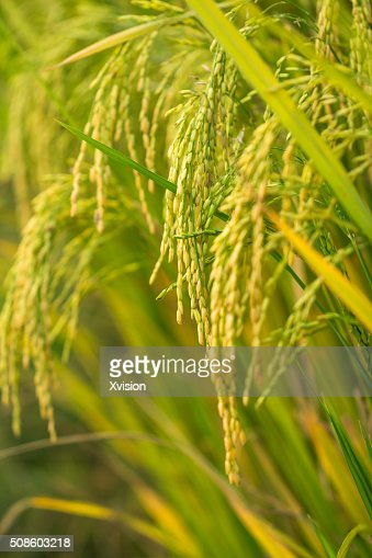 rice in autumn with heavy seeds : Stock Photo