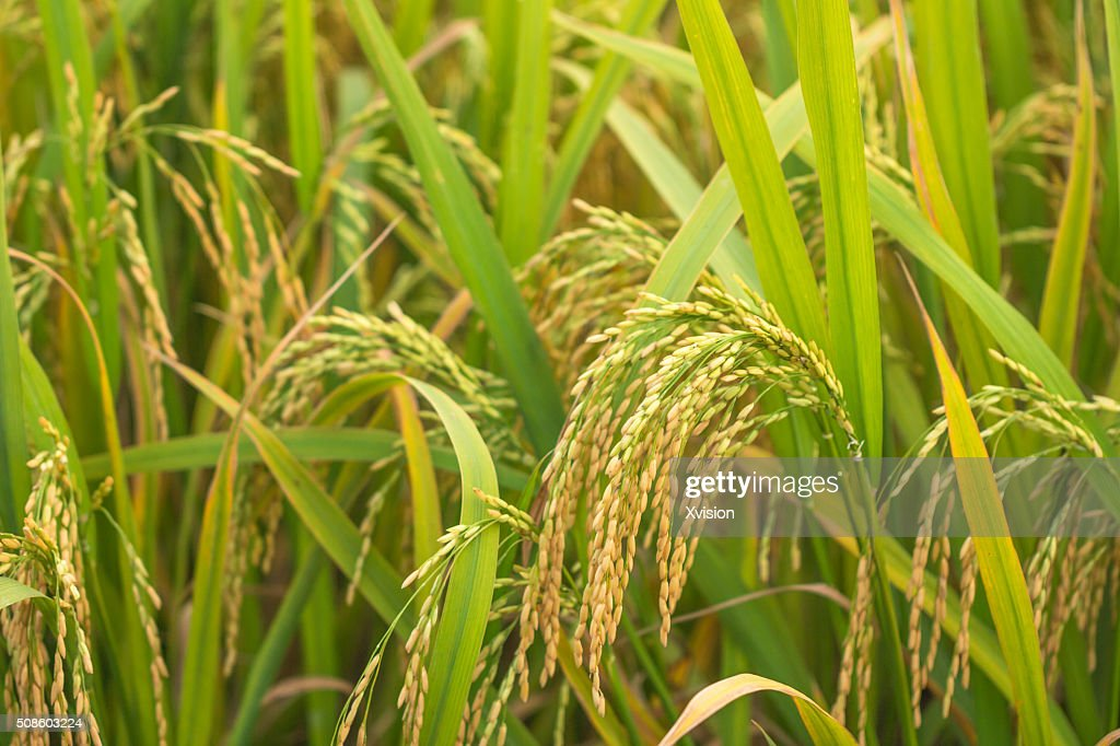 rice in autumn with heavy seeds : Foto de stock