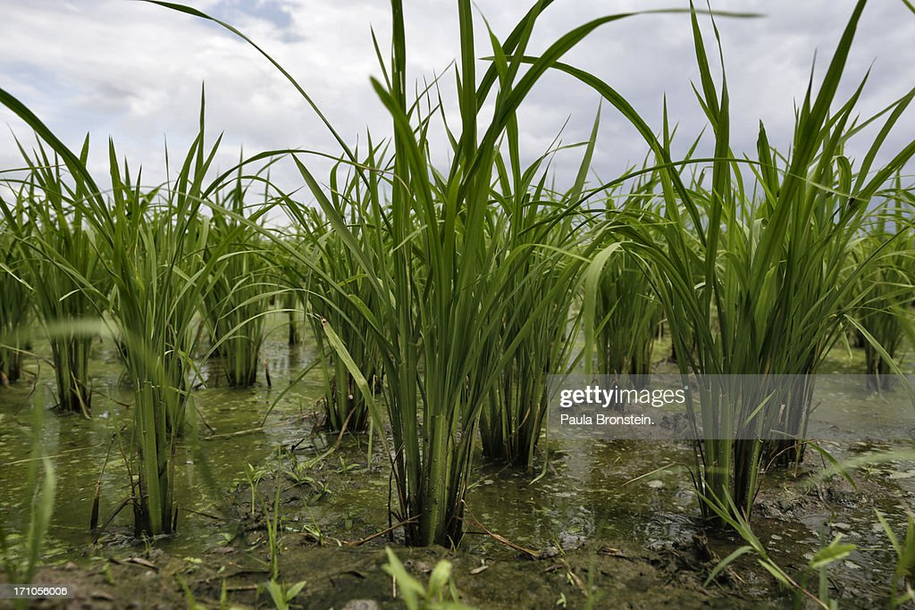 Rice is seen growing in a field in on June 20, 2013 in Suphan Buri, Thailand. Thailand plans to sell as much as 7 million metric tons from inventories in order to fund a grain purchase program. Recently financial sources revealed that the actual losses from the government's controversial rice pledging scheme for the 2011-12 rice harvest year are close to reaching 200 billion baht [US$6.5 billion], this is far above the Thai Finance Ministry's earlier forecast of 70-100 billion baht.
