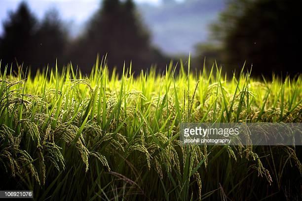 Rice nearing harvest