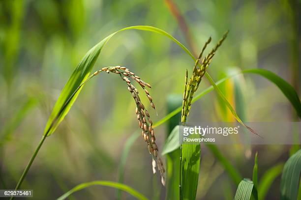 Rice Oryza sativa close up