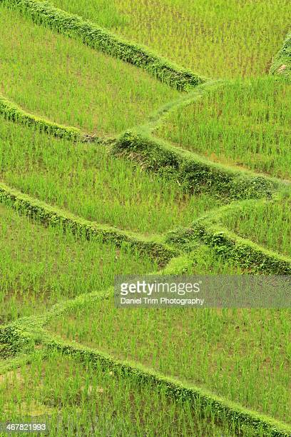 Rice Paddies, Chiang Mai
