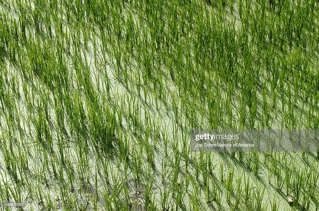 Rice paddies in Dali Yunnan Province People's Republic of China